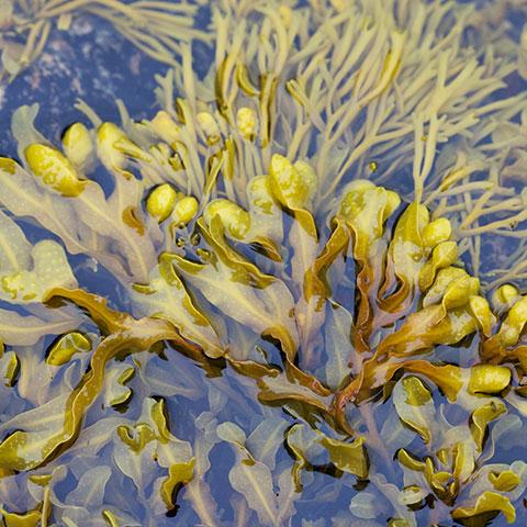 La nutrición y la algas