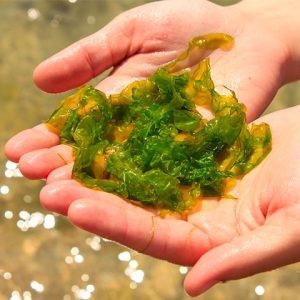 las algas en la salud